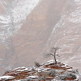 Lone Tree in Snow Storm, Zion National Park, UT