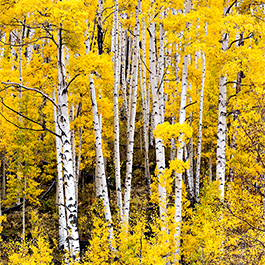 Fall Colors, Last Dollar Road, CO