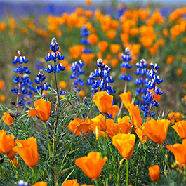 Poppies and Lupines, Carrizo Plain, CA